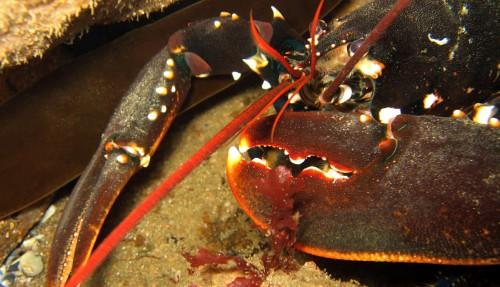 For å sikre bestanden av hummer, har Fiskeridirektoratet innført noen nye regler. (Foto: Colourbox)