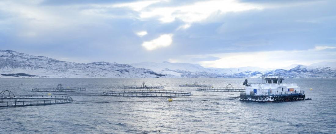 Norway Royal Salmon har mål om å slakte totalt 52.000 tonn laks inneværende år, hvorav 40.000 tonn produseres i Norge. Foto: NRS.